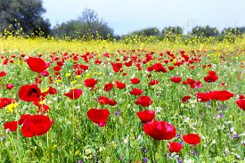 pic of yellow buds  - Field of red poppies with yellow rapeseed flowers in meadow. In this pasture you see outstanding colors of red and yellow in the fresh grass. A colorful image in springtime or early summer. ** Note: Visible grain at 100%, best at smaller sizes - JPG