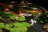 image of koi fish  - koi pond - JPG