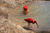 image of scarlet ibis  - ibis pair feeding - JPG