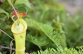 Постер, плакат: Close up on a Nepenthes a Carnivorous plant