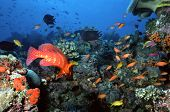 picture of coral reefs  - busy shallow coral reef in the maldives with colorful anthias and damselfish - JPG