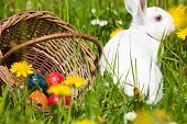 foto of easter bunnies  - Easter bunny on a beautiful spring meadow with dandelions in front of a basket with Easter eggs - JPG