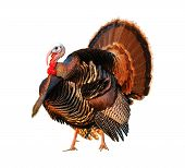 pic of wild turkey  - turkey tom strutting his stuff on a white background - JPG
