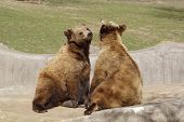 image of mating bears  - a picture of two bears mating at a zoo in wisconson - JPG