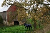 stock photo of olden days  - A beautiful old barn with and oak tree and black mare in front - JPG