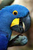 foto of polly  - A head shot of a blue macaw - JPG
