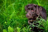Portrait Of A Labrador Retriever In The Grass. Brown Labrador. Copy Space poster