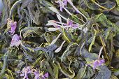 Blooming Sally Willow Tea On The Field, Medical Herbal Tea, Texture Background. Herbal Tea, Tea Leav poster