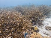 Critically Endangered Staghorn Coral poster