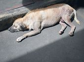 Brown Male Stray Dog Sleeping On The Road poster