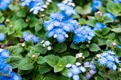 Ageratum Littoral, Billy Goat Weed, Chick Weed, Goat Weed, White Weed, Plant In A Flower Bed. Side N poster