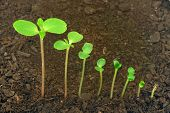 foto of germination  - Sequence of Impatiens balsamina flower growing isolated evolution concept - JPG