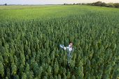 Areal Shoot Of Scientist With Magnifying Glass Observing Cbd Hemp Plants On Marijuana Field poster