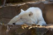 White Wolf. Sleeping White Wolf In Front Of His Burrow. - Image poster