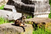 Stray Cats Sunbathing On Top Of The Ruins Of Roman Columns At The Piazza Vittorio Emanuele Ii In Rom poster