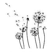 Silhouette Of A Dandelion With Flying Seeds. Black Contour Of A Dandelion. Black And White Illustrat poster