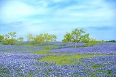 image of bluebonnets  - Field of Texas Bluebonnets with blue sky and trees in Ennis - JPG