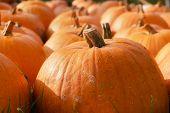 Edible Squash Close-up. Orange Pumpkins On Harvest Day. Autumn Market Arrangement With Orange Pumpki poster
