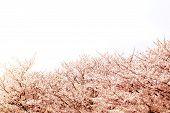 Beautiful Cherry Blossom Sakura In Spring Time Over White Sky.cherry Blossom In Full Bloom. poster