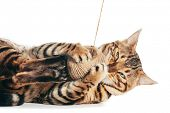 Bengal cat playing with cotton yarn. Isolated on white background. Purebred poster