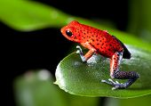pic of rainforest animal  - frog red strawberry poison dart frog on border of panama and costa Rica poisonous animal of tropical rainforest - JPG