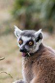 Surprised Face. Shocked Wide-eyed Lemur With Open Mouth. Funny Animal Meme Image. Ring-tailed Lemur  poster