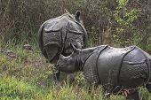 Black Rhinoceros And Baby