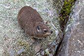 Common Rock Hyrax, Rock Dassie (procavia Capensis Capensis) On Rock N Natural Habitat poster