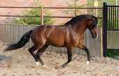 Bay Andalusian horse gallops in paddock. poster