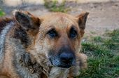 13 Years Old Purebred German Shepherd Portrait Shot On Natural Afternoon Light. poster