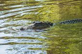 American Alligator Or Alligator Mississippiensis Submerged In Water With Snout Just Above Surface poster