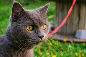 Face Of Purebred Young British Blue Shorthair Cat In Harness. Portrait Of Gray Cat. poster
