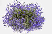 image of lobelia  - Beautiful blue lobelia on a white background - JPG