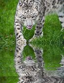 picture of panthera uncia  - Beautiful portrait of Snow Leopard Panthera Uncia Uncia big cat in captivity reflected in calm water - JPG