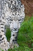 picture of panthera uncia  - Beautiful portrait of Snow Leopard Panthera Uncia Uncia big cat in captivity - JPG
