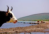 image of sea cow  - cow take a sunbathe on the sea beach - JPG