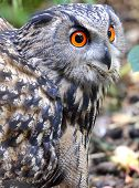 picture of screech-owl  - A closeup of an Eagle Owl  - JPG