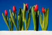 Red Tulips Against The Sky poster