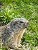 stock photo of groundhog  - Colle dell - JPG