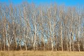 foto of denude  - Stand of Trees in Winter with no foliage - JPG