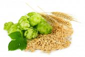 stock photo of hop-plant  - Fresh green hops and barley - JPG