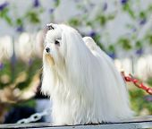 pic of maltese  - A view of a small young and beautiful Maltese show dog with long white coat standing. Maltese dogs have silky hair and are hypoallergenic.