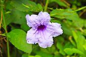 image of tuberose  - Ruellia tuberosa flower blooming purple flower Ruellia tuberose Waterkanon Watrakanu Minnieroot Iron root Feverroot Popping pod Trai - JPG
