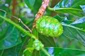 stock photo of nu  - Unripe and Ripe Great Morinda on tree in garden - JPG