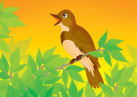 picture of nightingale  - Singing nightingale perched on a branch of a tree - JPG