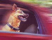 a dog riding in a car done with a soft vintage instagram  like filter