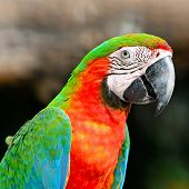 stock photo of harlequin  - Colorful Harlequin Macaw aviary - JPG