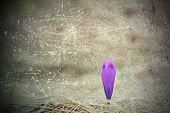 Постер, плакат: Scratched Abstract View Of Purple Saffron