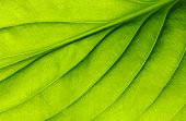 stock photo of symmetry  - green leaf texture - JPG