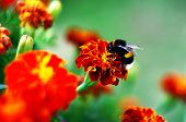 stock photo of afrikaner  - Bumblebee on Afrikaner flower in the garden in summer
